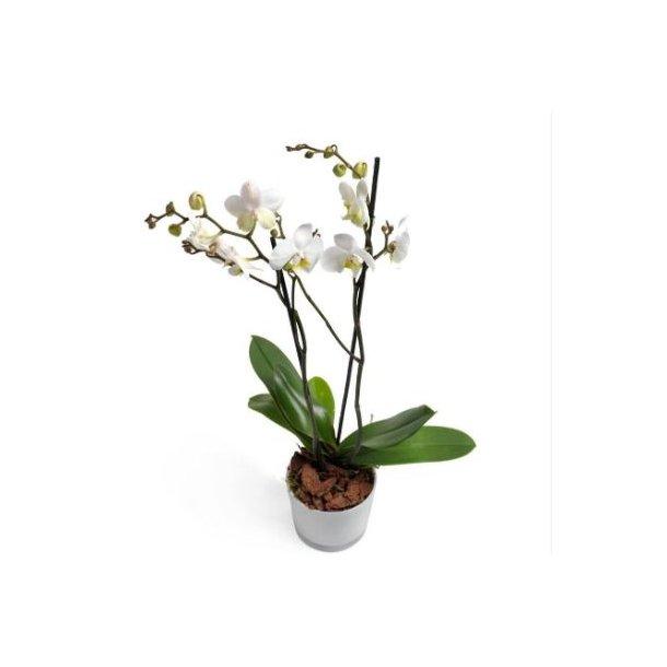 Hvit Orkide