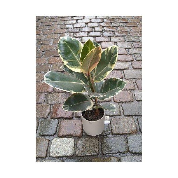 Stor Ficus